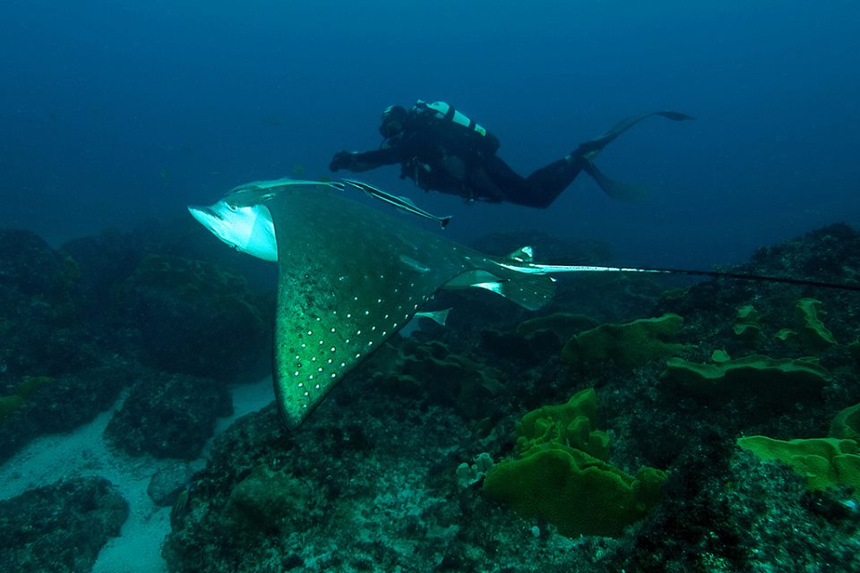 Eagle Ray and a diver. Photo Courtesy of Doug Anderson, check his portfolio on http://www.flickr.com/photos/douga